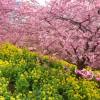 【速報】神奈川県足柄上郡松田町(東名 大井松田IC近く)にある松田山ハーブガーデンで河津桜見てきました