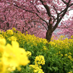 20150303日帰り旅行記2 ビーグルかえでちゃんと松田山の河津桜をたっぷり鑑賞