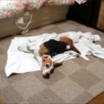 【犬動画】 ビーグルかえでちゃんが狂ったように体をタオルで拭いてます