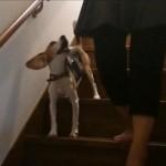 【犬動画】 なぜか階段だけヒールウォークが大好きなビーグルかえでちゃん