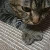 バッテンコ♪ かわいい♀猫ハッピーちゃん