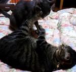 【猫動画】猫相撲