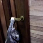 【猫動画】内玄関の扉を自力で開ける♂猫ピースくん
