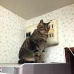 冷蔵庫の上に鎮座まします♀猫ハッピーちゃん