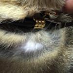 肌の悩みを解消すべく新調したおしゃれな猫の首輪の紹介 【BIRDIE小型犬・猫首輪】リリーカラー size24 続報2