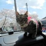 犬や猫が車嫌いにならずに車でお出かけできるようになる方法