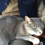 車の中でも猫はお股大好き♪ ここぞとばかりにパパのお股を堪能する♂猫ピースくん(20150503車中泊旅行記3)
