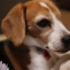 一番安いデジタル一眼レフカメラ キャノンEOS Kiss X7で犬を撮ってみたらあまりの違いに笑うしかない