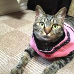 猫に犬の洋服を着せてみた…イングリッシュコッカーのおさがりを着る♀猫ハッピーちゃんとビーグルかえでちゃん